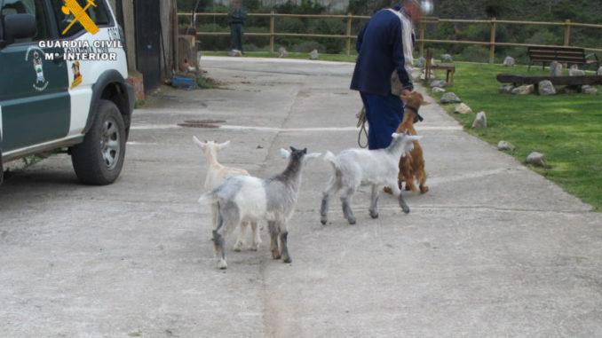 cabras robadas